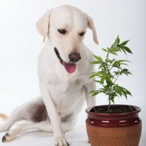 cannabis dog side effects