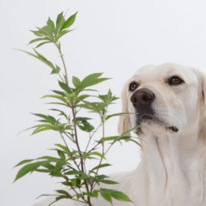 cannabis for pets