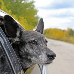 Traveling with your senior pet